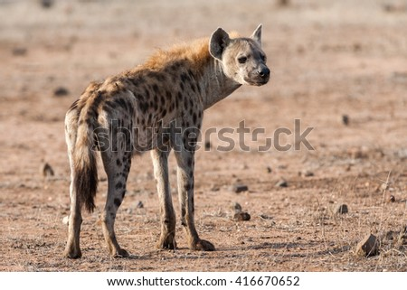 Wild Spotted Hyena posing on open sandy land. Kruger National Park, South Africa. - stock photo