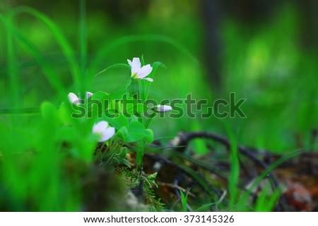 wild spring flowers - stock photo