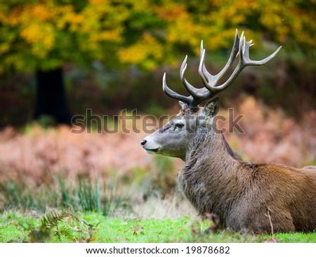 Wild Stag - stock photo
