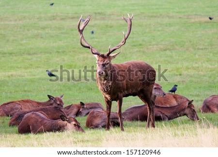 wild stag red deer guarding roe females in field during mating season - stock photo
