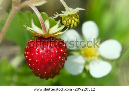 Wild strawberries plant with green leaves  - stock photo