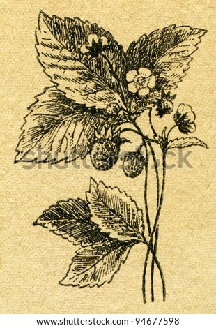 """wild strawberry - an illustration from the book """"In the wake of Robinson Crusoe"""", Moscow, USSR, 1946. Artist Petr Pastukhov - stock photo"""