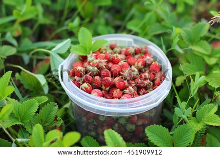 Wild strawberry plant with green leafs and ripe red fruit - Fragaria vesca. - stock photo