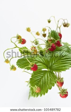 Wild strawberry plant with green leaves - stock photo