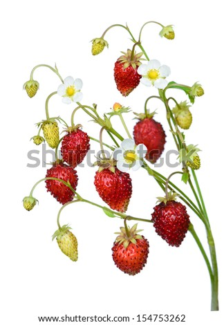 Wild strawberry twig isolated on white background - stock photo