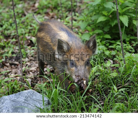 Wild striped piglets in  Primorye   taiga,  Russia - stock photo