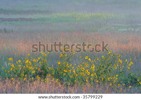 wild sunflowers and colorful prairie grass at dawn; Homestead National Monument of America, Beatrice, Nebraska