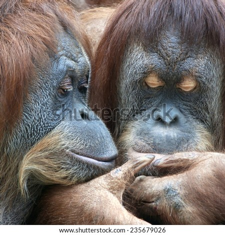 Wild tenderness among orangutan. Mother with her adult daughter are looking at something on daughter's lips. Facial care in wildlife. - stock photo