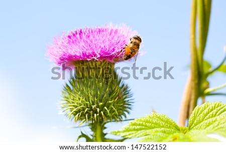 Wild thistle with pink flower and bee on blue background - stock photo