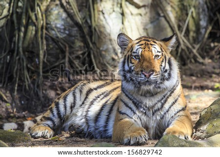 Wild tiger laying down on a ground - stock photo