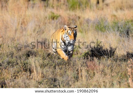 Wild tiger on the move - stock photo