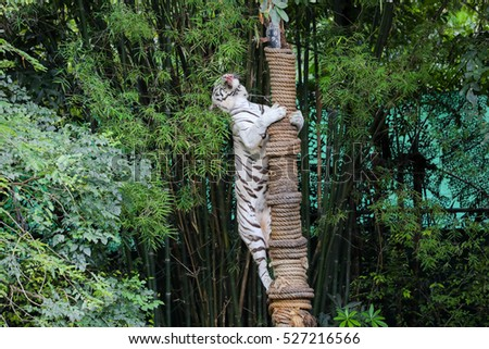 wild tiger on the vertical column