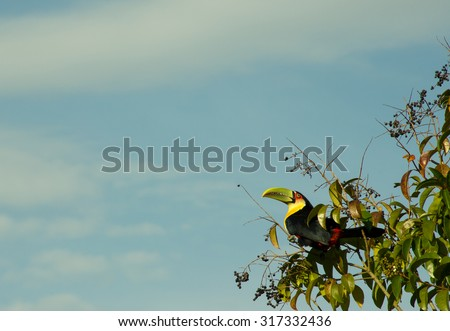 Wild Toucan in Natural Habitat eating small berries in South Brazil - stock photo