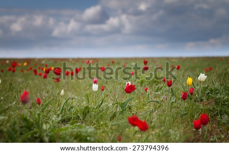 Wild tulips in a field under a sky with clouds - stock photo