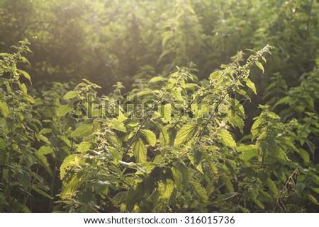 wild urtica plants  - stock photo