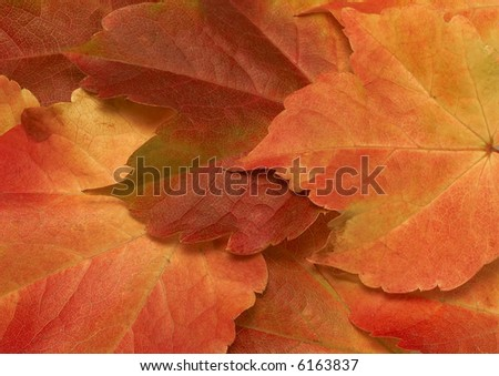 Wild vine leafs - stock photo