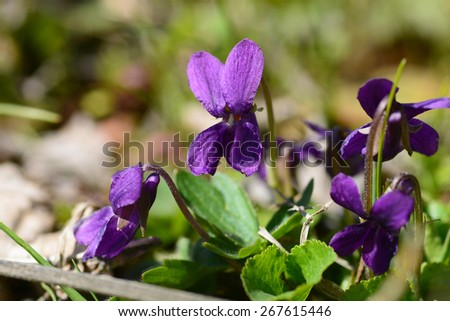 Wild viola flowers - stock photo