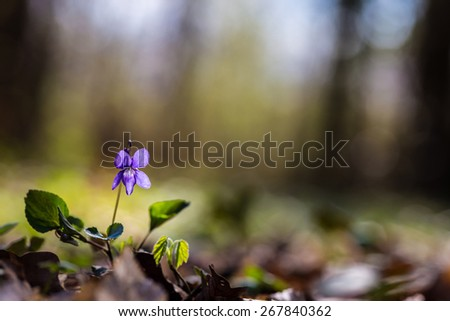 Wild violet in spring, in a forest - stock photo