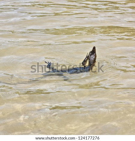 wild water monitor (Varanus salvator) swimming in a sea