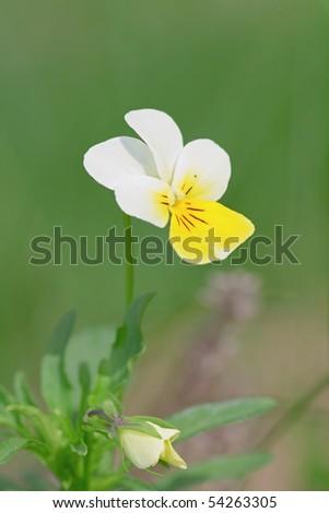 wild white and yellow pansies - stock photo