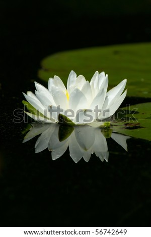 Wild White Lily Pad Flower With Flower's Reflection In Calm Water.  Lily Pads Are In The Background. - stock photo