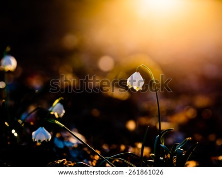 Wild white Snowflake Leucojum Flower in march in a german forest. Lovely Bokeh and intentional blur. Forrest Background with fallen leaves. against sunset. Strong Light and Shadows. Warm bright light - stock photo