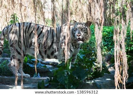 wild white tiger at the zoo - stock photo