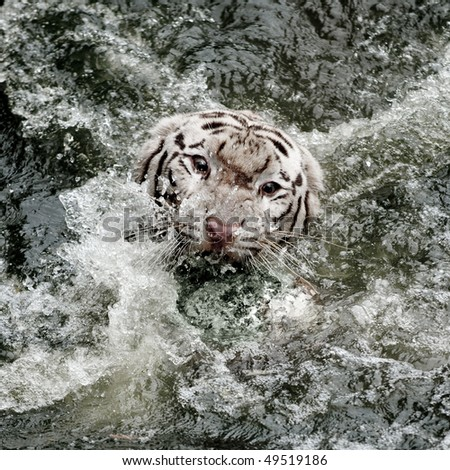 wild white tiger roaring and coming out from water - stock photo