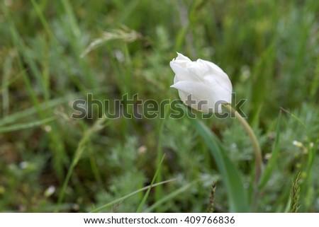 Wild white tulip ( Tulipa schrenkii, Tulipa suaveolens ) blooming in steppe - stock photo