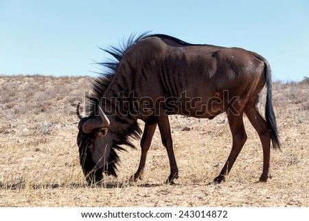wild Wildebeest Gnu grazing, Kgalagadi, South Africa, true wildlife - stock photo