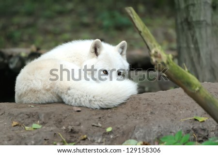 Wild wolf in the woods - stock photo