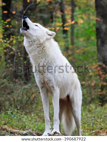 Wild wolf in the woods during autumn, howling for the pack. - stock photo