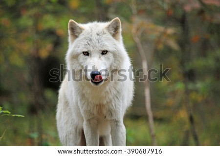 Wild wolf in the woods during autumn, licking his chops. - stock photo