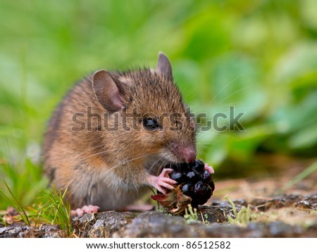 Wild wood mouse is eating a raspberry