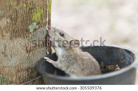 Wild wood mouse sitting in the rubber tree bowl and nibble latex. select focus. - stock photo