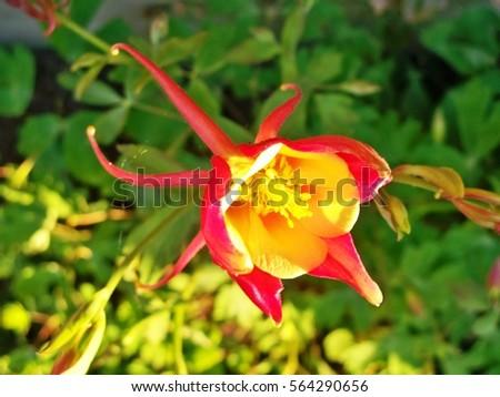 wild columbine flower stock images, royaltyfree images  vectors, Beautiful flower