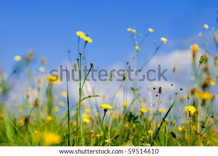 Wild yellow flowers and blue sky from low point of view, shallow deep of field - stock photo