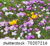 Wild yellow, purple and white crocus flowers - stock photo