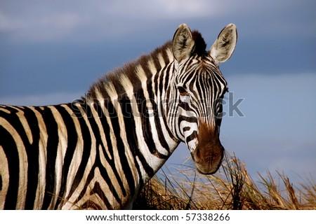 Wild Zebra - stock photo