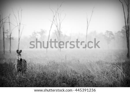 Wild Zebra in Black and White - stock photo