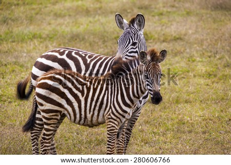 Wild Zebra socializing in Africa - stock photo