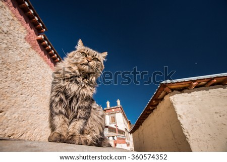 Wilde cat on the wall of the monastery is the largest Tibetan Buddhist monastery in Yunnan province.