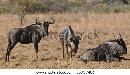 Wildebeast at Rest - stock photo
