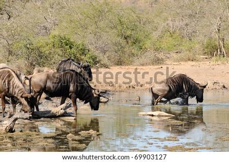 Wildebeest - stock photo