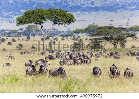 Wildebeest and Zebra  herds during migration in Serengeti national park Tanzania Africa
