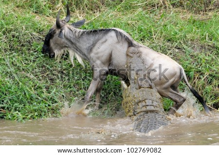 Wildebeest attacked by Crocodile. - stock photo