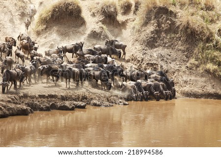 Wildebeest (Connochaetes) migrating on the Maasai Mara National Reserve safari in southwestern Kenya.
