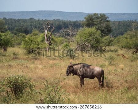 Wildebeest in South Africa - stock photo