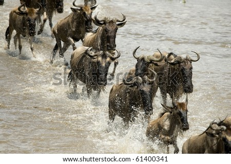 Wildebeest running in river in the Serengeti, Tanzania, Africa - stock photo