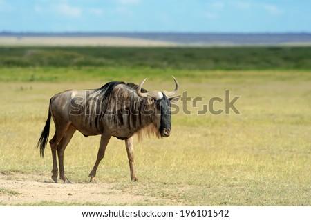 Wildebeest running on dusty plains ( Taurinus; connochaetes ) - South Africa - stock photo